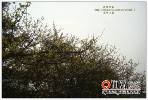 腊梅迎春56 高清图片