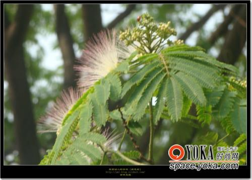 美丽动人的合欢 绒花树 组图