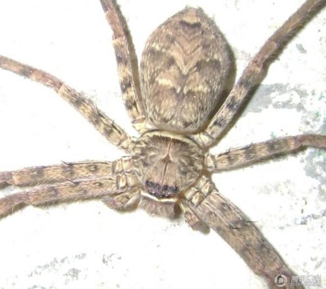 人面花纹的高脚蜘蛛